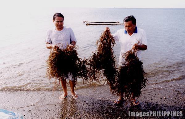 Red Seaweeds,  Place Taken: Tigbauan, Iloilo take on  Date Taken: 1997