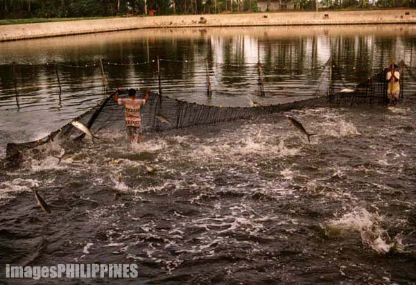 """Bangus (Milkfish) Harvest""
