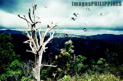 """Dying tree at Mansalay, Mindoro"",  Date Taken: 1994 take on  Photographer/Artist: Nestor Santiago"