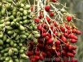 """Green and Red Fruits"",