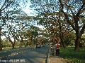 """Acacia Trees in the Academic Oval""