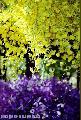 """Yellow Orchids"", Photographer/Artist: Nestor Santiago, Date Taken: 1996, Place Taken: Paskuhan Village, San Fernando, , Pampanga"