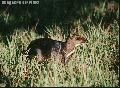 """Mousedeer Pilandok"", Photographer/Artist: Nestor Santiago, Date Taken: 2000, Place Taken: Calauit, Palawan"