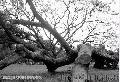 """Fallen Tree"", Photographer/Artist: Eric Florentin, Date Taken: 2005, Place Taken: Metro Manila,"