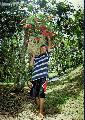 """Rambutan Harvester"", Photographer/Artist: Nestor Santiago, Date Taken: 2002, Place Taken: Lipa City"