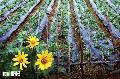 """""""Sunflower"""", Photographer/Artist: Samuel Peralta De Leon , Date Taken: 2002, Place Taken: Benguet"""