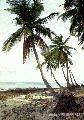 """Coconut Trees in Pagudpud"",