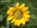 """Sunflower"",