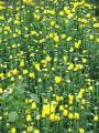 """Chrysanthemum's Portrait"", Photographer/Artist: Jerome Fetalvero, Date Taken: 2006, Place Taken: Benguet"