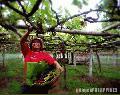 """Grapes"", Photographer/Artist: Samuel Peralta De Leon, Date Taken: 2001, Place Taken: Lanao del Norte"