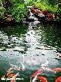 """Koi Pond"",