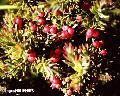 """Wild Cherry"", Photographer/Artist: Sidney Mi�oza Nanini , Date Taken: 2004, Place Taken: Mt. Apo Peak, North Cotabato"