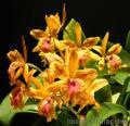 """""""Orange Orchids"""", Photographer/Artist: Willy Lorenzana, Date Taken: 2005, Place Taken: Paranaque,Metro Manila"""