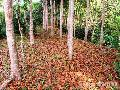 """Mahogany Leaves"",