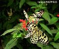 """Tha Monark Butterfly"", Photographer/Artist: Nestor Santiago , Date Taken: 2004, Place Taken: LIpa City,Batangas"
