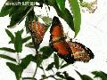 """Three Butterfly"",