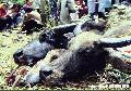 """Of Carabaos and Men"",