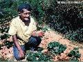 """Strawberry Farmer"" ,