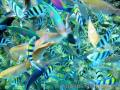 """Beautiful Fishes of Anilao"",