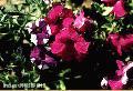 """""""Gumamela Flowers"""", Photographer/Artist: Joel Abelida, Date Taken: 2000"""