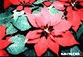 """Poinsettia-red""-,